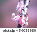 満開の平岡梅林公園 54036980