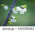 満開の平岡梅林公園 54036982