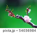 満開の平岡梅林公園 54036984