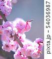 満開の平岡梅林公園 54036987