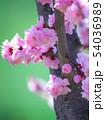 満開の平岡梅林公園 54036989