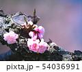 満開の平岡梅林公園 54036991