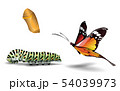 butterfly and caterpillar on the white background 54039973