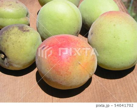 加賀梅の実を収穫しました。 54041702