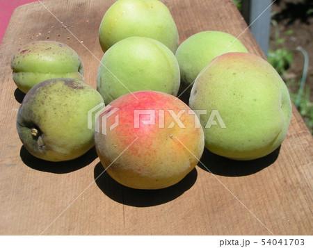加賀梅の実を収穫しました。 54041703