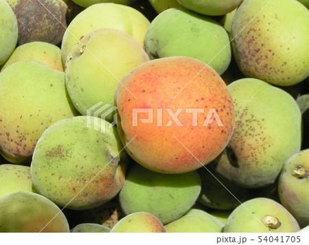 加賀梅の実を収穫しました。 54041705
