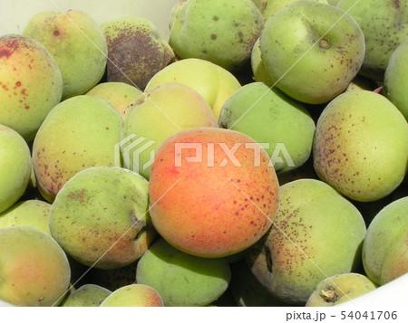 加賀梅の実を収穫しました。 54041706