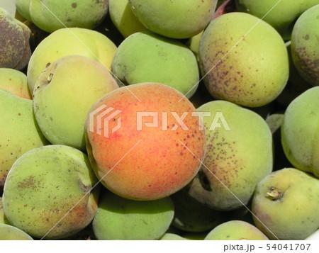加賀梅の実を収穫しました。 54041707