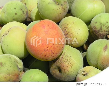 加賀梅の実を収穫しました。 54041708