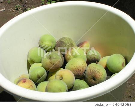 加賀梅の実を収穫しました。 54042063