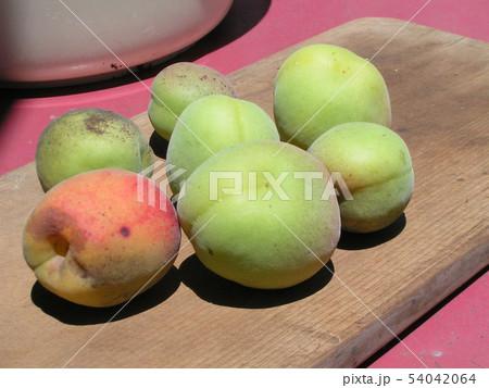 加賀梅の実を収穫しました。 54042064