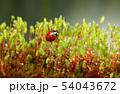 てんとう虫 テントウムシ 天道虫の写真 54043672