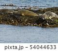 Seals Resting On Seaweeds, Vigur Island, Iceland 54044633