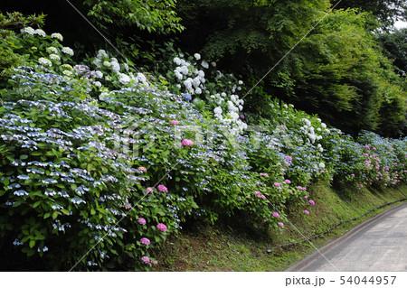 鎌倉の亀ヶ谷坂切通の紫陽花 54044957