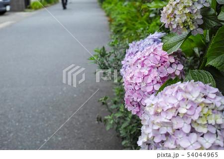 紫陽花と道路 54044965