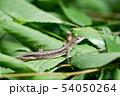 カナヘビ 54050264