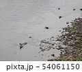 川の鴨 54061150