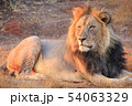 百獣の王の休息 54063329