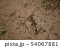 イモリとオタマジャクシ 54067881