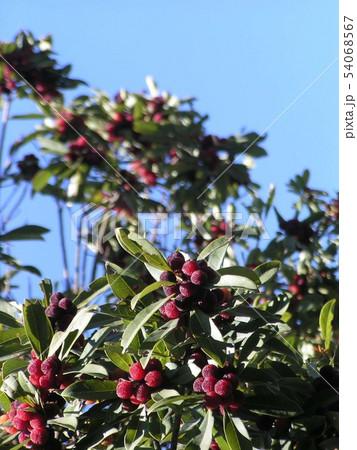 沢山熟した赤い実のヤマモモ 54068567