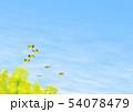 チョウ(イメージ) 菜の花 春 コピースペース 54078479