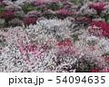 花桃 54094635