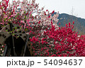夕焼ける花桃 54094637