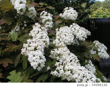 葉っぱが柏の葉に似たカシワバアジサイの白い花 54096130