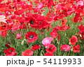 赤やピンクのポピー 54119933