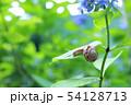 紫陽花とカタツムリ 54128713