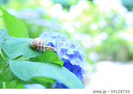紫陽花とカタツムリ 54128720
