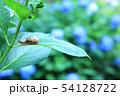 紫陽花とカタツムリ 54128722