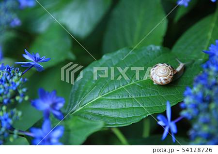 紫陽花とカタツムリ 54128726