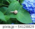 紫陽花とカタツムリ 54128829