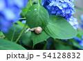 紫陽花とカタツムリ 54128832