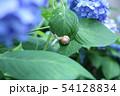 紫陽花とカタツムリ 54128834