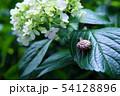 紫陽花とカタツムリ 54128896
