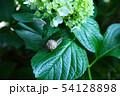 紫陽花とカタツムリ 54128898