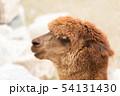 アルパカの横顔 54131430
