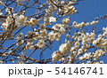 Spring background with white plum flowers 54146741