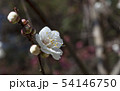 Spring background with white plum flowers 54146750