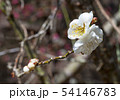 Spring background with white plum flowers 54146783