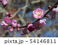 Spring background with pink plum flowers 54146811