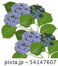 あじさい紫 54147607