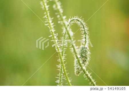 植物 ケシ 花 54149105