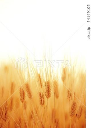 大麦 54149106