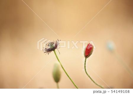 植物 ケシ 花 54149108