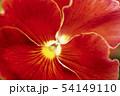 パンジー 植物 花 54149110