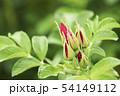植物 バラ 花 54149112