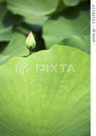 植物 夏 蓮 54149114